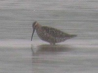 Articles Two sandpiper firsts make a dream of a day at Rutland Water