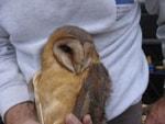 BTO Dark-breasted Barn Owl tragically found dead