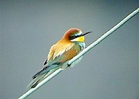 Articles RSPB Press Release: First Bee-eater chicks in UK since 1955