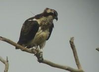 BTO Loch Garten's latest Osprey offspring are heading towards Africa