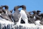 Research Neighbours from hell: infanticide rife in sea-bird colony