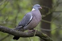 BTO Britain's national bird in takeover bid