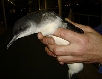 Articles Brief notes on a stranded Inner London Manx Shearwater