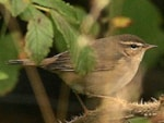 Articles Dusky Warbler - A Record Year
