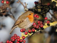 BTO Look after your Robin this Christmas
