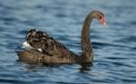 BTO Seen a Black Swan?