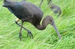 BTO Colour-ringed Glossy Ibis