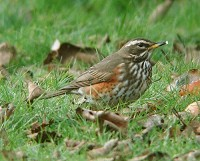 BTO Autumn arrivals - tracking northern thrushes