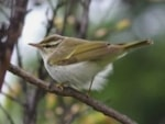 Articles The Eastern Crowned Warbler in Co. Durham