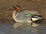Focus On Green-winged Teal