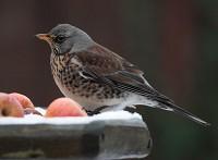 BTO Birds seek refuge in Britain's snowy gardens