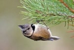 Photographing Scottish Highland specialities Crested Tit