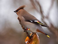 Research The vagaries of Waxwing migration