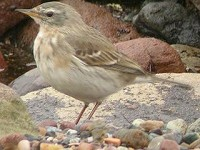 Articles Finding Water Pipits on the Ribble Estuary, Lancashire