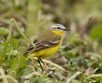 Focus On Yellow Wagtails - Talking heads