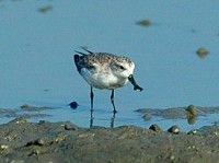Bangladesh Spoon-billed Sandpiper diary Part II
