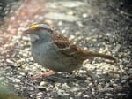 Rarity finders White-throated Sparrow: Boscastle, Cornwall