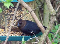 Rarity finders Brown-headed Cowbird, County Durham