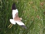 Rarity finders White-tailed Lapwing, Rainham Marshes