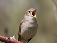BTO Nightingale migration tracked for the first time