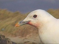 Articles The Criccieth Ivory Gull - a Personal Account