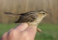 Birding abroad Ringing and birding in Catalonia: part II