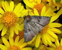 Moths of the season Late Summer