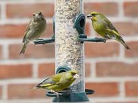 BTO Parasite threatens Britain's garden birds