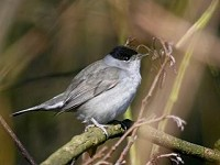 Articles Wintering Blackcaps – Where Do They Come From and Why?