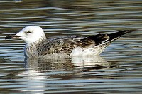 Articles What is a Caspian Gull?