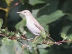 "Rarity finders Eastern Olivaceous Warbler, Flamborough Head - a ""can't stand-up"" bird"
