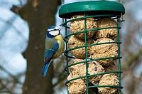 BTO Feeling blue: garden acrobat takes a tumble