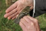 BTO Cornish Alder Flycatcher revisited