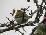 Rarity finders Northern Parula, Tiree