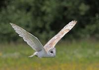 BTO A most unusual year for Barn Owls