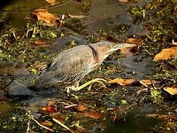 Rarity finders Green Heron, Heligan, Cornwall