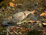 Rarity finders Green Heron, Heligan, Cornwall