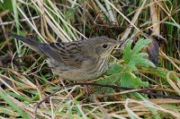 Focus On Locustella warblers: suppress it - until you're ready