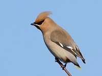 Focus On Waxwing: coming to a car park near you