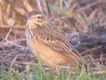 Rarity finders Blyth's Pipit on Gringley Carr, Notts