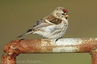 Focus On The redpolls are coming