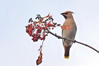 Focus On Colour-ringed Waxwings on the move