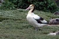 Birding abroad Short-tailed Albatross – catastrophe on the horizon?