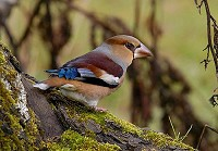 Articles Where to see Hawfinches