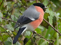 Focus On Northern Bullfinch