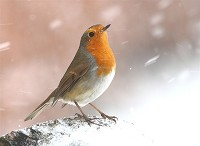 BTO Robin numbers on the up in gardens