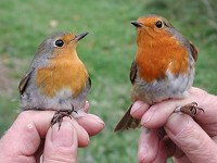 Focus On Robins of the North
