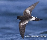 Research New storm-petrel species found in Chile