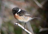 Articles Stonechats: A Status Change in Lancashire