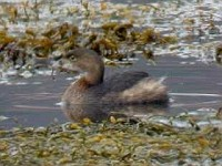 Rarity finders Pied-billed Grebe, Mull